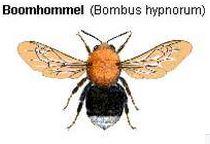 Hommels - De Boomhommel