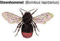 Hommels - De Steenhommel
